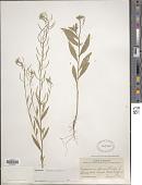 view Erysimum cheiranthoides L. digital asset number 1