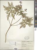 view Geranium pratense L. digital asset number 1