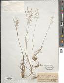view Agrostis capillaris L. digital asset number 1