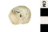 view Turban Shell digital asset number 1