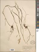view Bromus ciliatus L. digital asset number 1