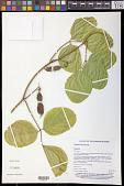 view Canavalia rosea (Sw.) DC. digital asset number 1