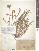view Polygala cyparissias A. St.-Hil. digital asset number 1
