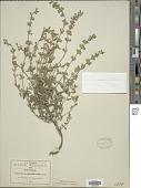 view Salvia chamaedryoides digital asset number 1