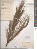 view Casuarina equisetifolia L. digital asset number 1