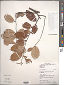 view Licania coriacea Benth. digital asset number 1