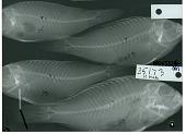 view Sparisoma cyanolene digital asset number 1