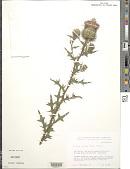 view Cirsium vulgare (Savi) Ten. digital asset number 1