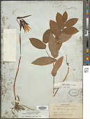 view Uvularia grandiflora digital asset number 1
