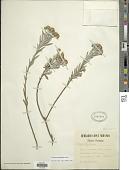 view Baccharis gnidiifolia Kunth digital asset number 1
