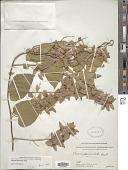 view Poranopsis paniculata (Roxb.) Roberty digital asset number 1