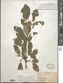 view Rhamnus erythroxylon Pall. digital asset number 1