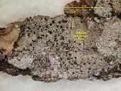 view Calicium adspersum Pers. digital asset number 1