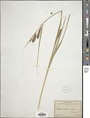 view Carex lacustris digital asset number 1