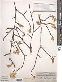 view Amelanchier arborea (F. Michx.) Fernald digital asset number 1