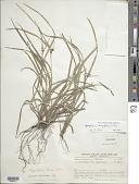view Hypolytrum longifolium (Rich.) Nees digital asset number 1
