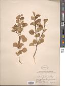view Betula fontinalis Sarg. digital asset number 1