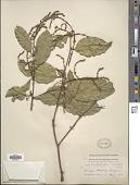 view Xanthophyllum vitellinum (Blume) D. Dietr. digital asset number 1