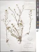 view Lesquerella gracilis (Hook.) S. Watson digital asset number 1