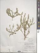 view Lepidium lasiocarpum var. orbiculare (Thell.) C.L. Hitchc. digital asset number 1