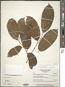 view Neosprucea grandiflora (Spruce ex Benth.) Sleumer digital asset number 1