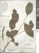 view Picramnia latifolia Tul. digital asset number 1