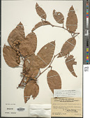 view Smilax perfoliata Lour. digital asset number 1