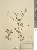view Tephrosia capensis (Jacq.) Pers. digital asset number 1