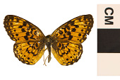 view Silver-bordered Fritillary, Brush-footed Butterfly digital asset number 1