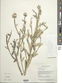 view Werneria pygmaea complex digital asset number 1