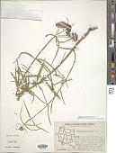 view Asclepias fascicularis Decne. digital asset number 1