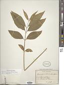 view Cynanchum acuminatifolium (Decne.) Hemsl. digital asset number 1