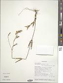 view Tachiadenus gracilis Griseb. digital asset number 1