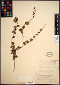 view Lonicera hispidula Douglas ex Lindl. digital asset number 1