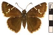 view Southern Cloudywing digital asset number 1