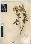 view Salvia albicans Fernald digital asset number 1