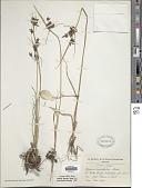 view Cyperus rigidifolius Steud. digital asset number 1