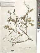view Mimosa detinens Benth. digital asset number 1