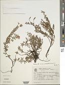 view Chamaecrista ramosa var. parvifoliola (H.S. Irwin) H.S. Irwin & Barneby digital asset number 1
