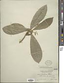 view Vavaea amicorum Benth. digital asset number 1