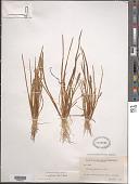 view Lilaea scilloides (Poir.) Haum digital asset number 1