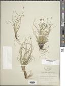 view Carex emmonsii Dewey ex Torr. digital asset number 1