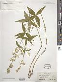 view Silene stellata (L.) W.T. Aiton digital asset number 1
