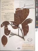 view Endiandra rubescens (Blume) Miq. digital asset number 1