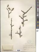 view Cyrtocarpa edulis (Brandegee) Standl. digital asset number 1
