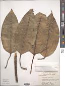 view Ficus sterrocarpa Diels digital asset number 1