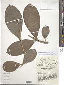 view Amphitecna latifolia (Mill.) A.H. Gentry digital asset number 1