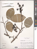 view Ruizodendron sp. digital asset number 1