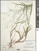 view Panicum verrucosum Muhl. digital asset number 1