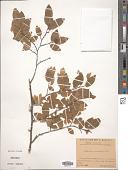 view Carpinus orientalis digital asset number 1